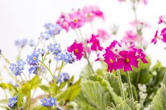 Forget-me-not flowers and Primula. Blue Forget-me-not flowers and pink Primula flowers in front of white background Stock Photo