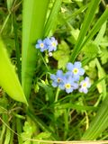 Forget - Me- Not Stock Photos