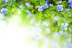 Forget-me-not flowers Royalty Free Stock Image
