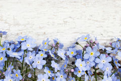 Forget-me-not flowers on wooden background Stock Photos