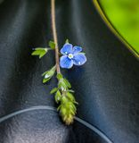 Forget-me-not in forest. Green grass Royalty Free Stock Photography