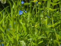 Forget-me-not in forest. Green grass Stock Photos