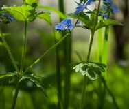 Forget-me-not in forest. Green grass Stock Images