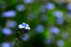 Forget me not in garden Stock Image