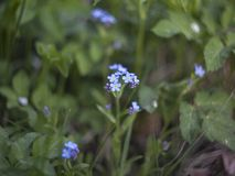 Forget me not in the grass royalty free stock photography