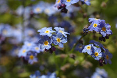 Forget-me-not. Forget me not in the hot sun stock photography