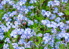 Forget-me -not and a ladybug. A field of forget-me-not and ladybugs Royalty Free Stock Images