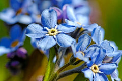 Forget-me-not Light Blue Flowers. Stock Photography