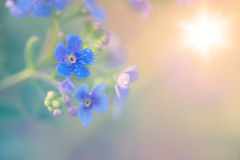 Forget me not. Macro closeup blue forget me not flower with sun in the background Stock Photo