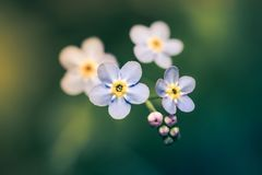 Forget-me-not my love. Forget-me-not macro picture with green blurry background. A calm composition and only one blossom is in the focal plane. Macro picture royalty free stock images