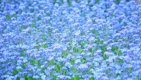 Forget-me-not meadow Stock Photo