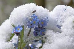 Forget-me-not Myosotis στο χιόνι Στοκ Εικόνα