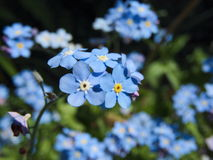Forget Me Not Myosotis Blue Flowers Royalty Free Stock Photos