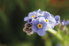 Forget me not, myosotis, close-up Royalty Free Stock Photography