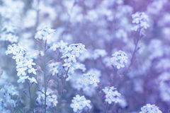 Forget-me-not Myosotis flowers background Stock Photo