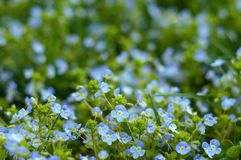 Forget-me-not Myosotis flowers blooming in the summer meadow. Beautiful small blue flowers blooming in the sunny summer day stock photo