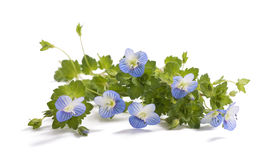 Forget me not Royalty Free Stock Photo