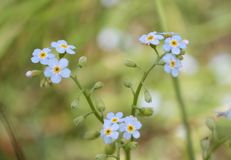 Forget me not, Myosotis. Macro blue flowers, forgetmenot, nature Stock Photo