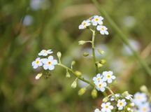 Forget me not, Myosotis Royalty Free Stock Photo