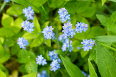Forget-me-not Myosotis sky blue flowers with white star hearts. Close up with bokeh background royalty free stock photo