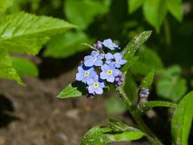 Forget me not, Myosotis, small flowers macro, selective focus, shallow DOF. Forget me not Myosotis small flowers macro, selective focus, shallow DOF Stock Photos
