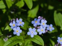Forget me not, Myosotis, small flowers macro, selective focus, shallow DOF. Forget me not Myosotis small flowers macro, selective focus, shallow DOF Royalty Free Stock Image