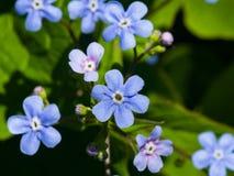 Forget me not, Myosotis, small flowers macro, selective focus, shallow DOF. Forget me not Myosotis small flowers macro, selective focus, shallow DOF Royalty Free Stock Photography