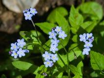 Forget me not, Myosotis, small flowers macro, selective focus, shallow DOF. Forget me not Myosotis small flowers macro, selective focus, shallow DOF Royalty Free Stock Photo