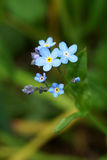 Forget-me-not Myosotis species Royalty Free Stock Images