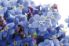 Forget-me-not (Myosotis sylvatica) Royalty Free Stock Images