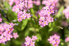 Forget-Me-Not Pink Flowers In Spring Royalty Free Stock Image