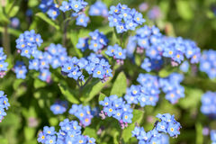 Forget-Me-Not Pink Flowers In Spring Royalty Free Stock Photography