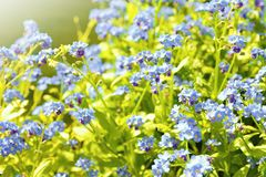 Forget me not plant Stock Photo