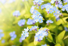 Forget me not plant Stock Image