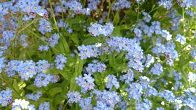 Forget me not plant Royalty Free Stock Images