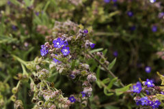 Forget me not plant fynbos Stock Photo
