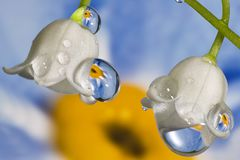 Forget-me-not reflection. Lily-of-the-valley flower with drops and forget-me-not reflection Stock Photography