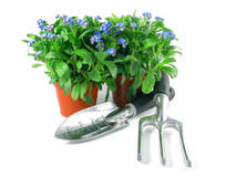 Forget-me-not seedling Royalty Free Stock Photos