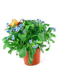 Forget-me-not seedling Stock Photo