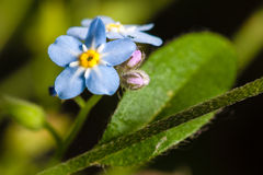 Forget-me-not. Small blue flower growing in the garden Stock Photography