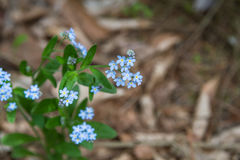 Forget me not Stock Photography