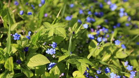 Forget me not, small flowers in the shape of a stock footage