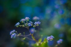 Forget me not, small flowers in the shape of a heart Royalty Free Stock Photos