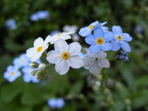 Forget- me-not Stock Images