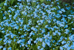 Forget-me-not  background Stock Images