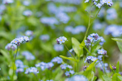 Forget me not  - spring blue garden flowers Royalty Free Stock Photos