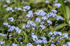 Forget-me-not in spring Royalty Free Stock Photos