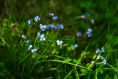 Forget-me-not, spring small blue flowers, blurred floral meadow plant background, close up and green grass, Myosotis sylvatica. Forget-me-not, spring small blue Royalty Free Stock Image