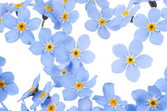 Forget me not. Studio Shot of  Blue Colored Forget-me-not  Flowers Isolated on White Background. Large Depth of Field (DOF). Macro. Symbol of True Love Royalty Free Stock Images