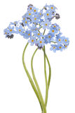 Forget me not Stock Image